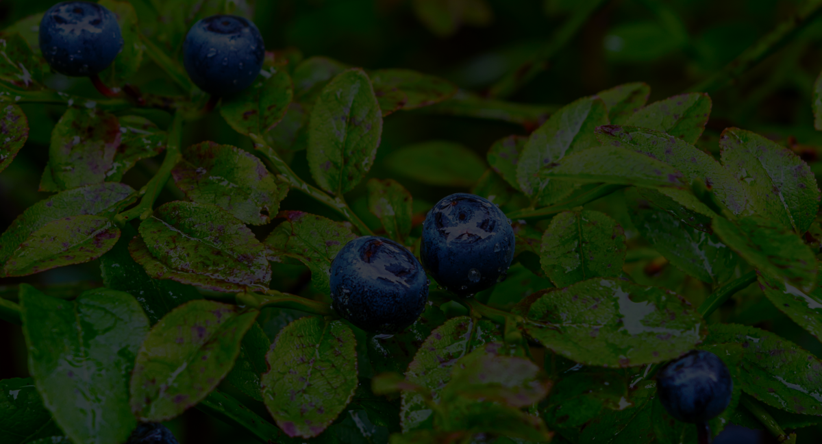 ripe-blueberries
